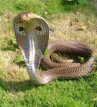 Наиболее опасна кобра, или очковая змея.  Она получила свое название за...